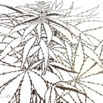 Weed Coloring Pages Cannabis Coloring Sheet Weed Plants