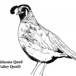 California Quail Coloring Pages