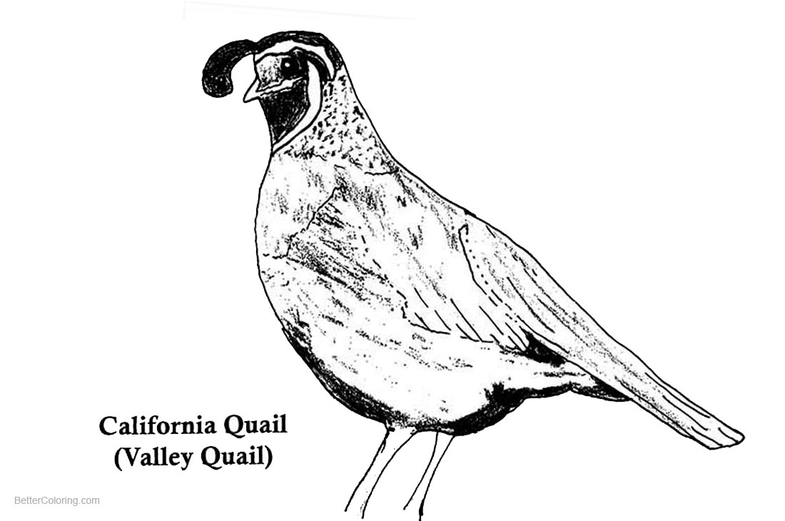 California Quail Coloring Pages - Free Printable Coloring ...