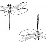 Dragonflies Coloring Pages Clipart
