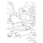 Pond Animals Coloring Pages Ducks