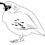 Quail Coloring Pages Bird Lineart