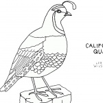 Quail Coloring Pages California Quail Line Art