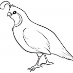 Quail Coloring Pages Simple Drawing