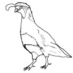 Quail Coloring Pages Sketch Drawing