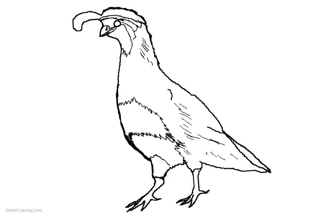 Quail Coloring Pages Sketch Drawing printable for free