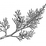 Rocky Mountain Plants Coloring Pages