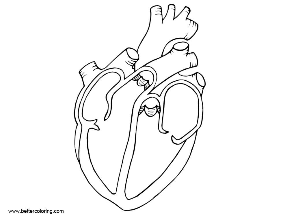 Free Anatomy Coloring Pages Diagram Heart printable