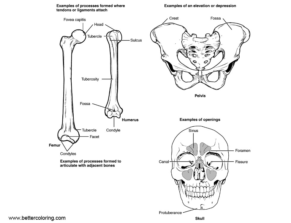 Anatomy Coloring Pages Human Bone Structure Free Printable
