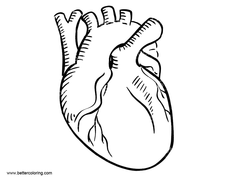 Free Anatomy Coloring Pages of Human Circulatory System printable
