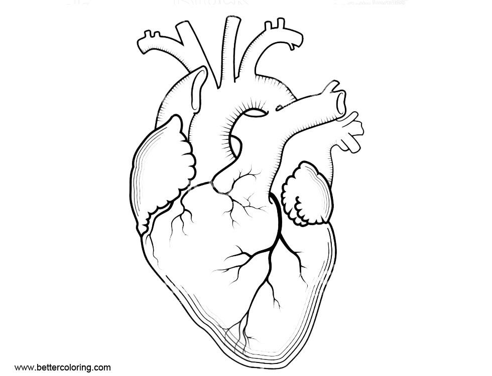 Free Anatomy of Heart Coloring Pages Internal Human Organ printable