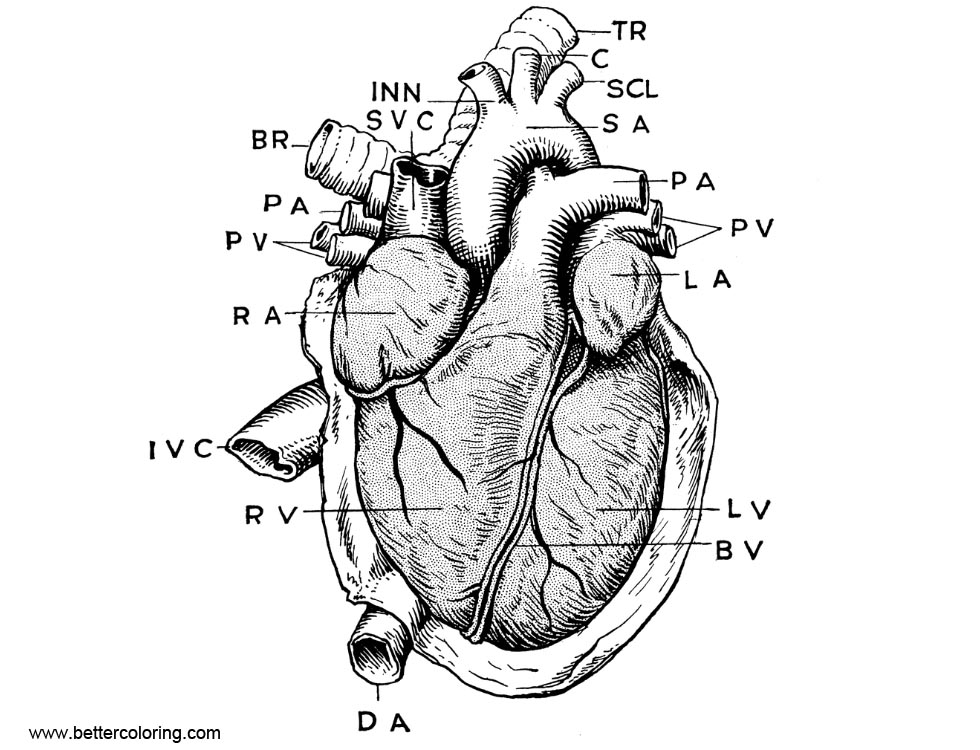 Free Anatomy of Heart Coloring Pages printable