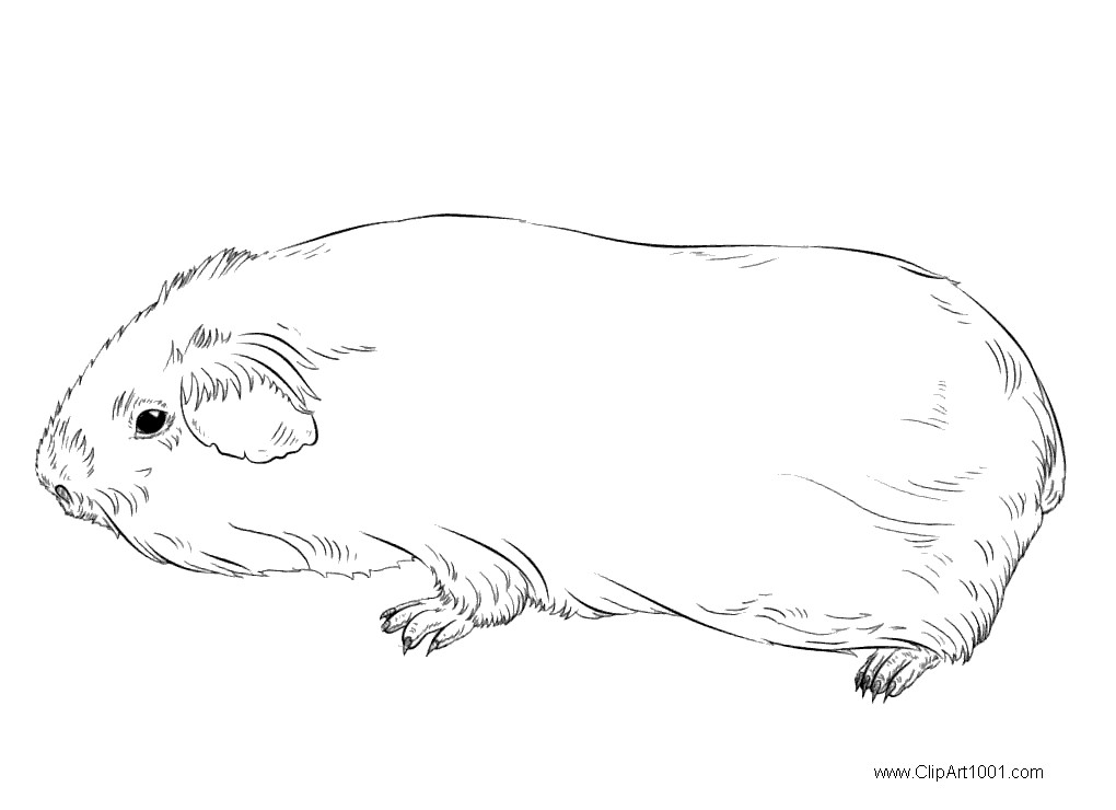Free Coloring Pages of Guinea Pig printable