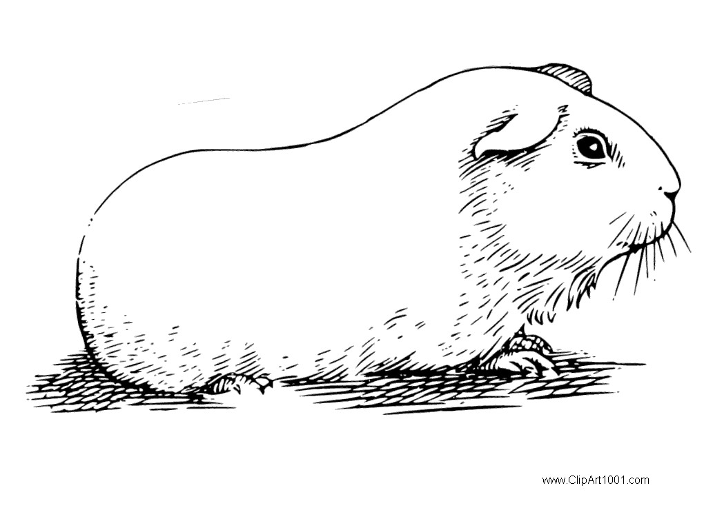 Free Guinea Pig Coloring Pages Realistic Sketch Drawing printable