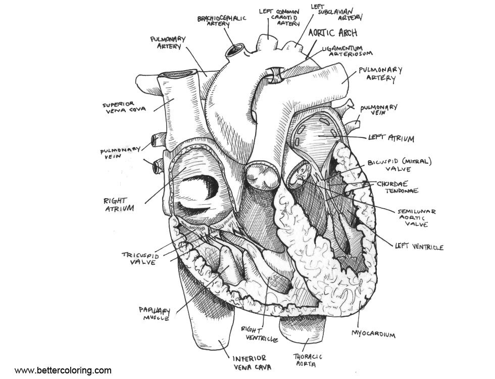 Heart Anatomy Coloring Pages Sketch - Free Printable Coloring Pages
