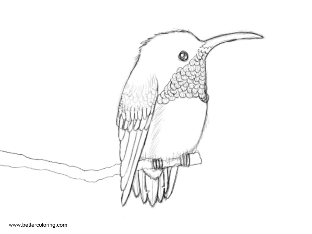 Free Hummingbird Coloirng Pages Sketch by RaraAvisInTe printable