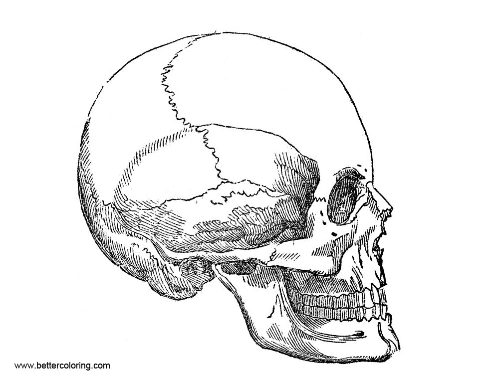 Vintage Human Skull Anatomy Coloring Pages Free Printable Coloring