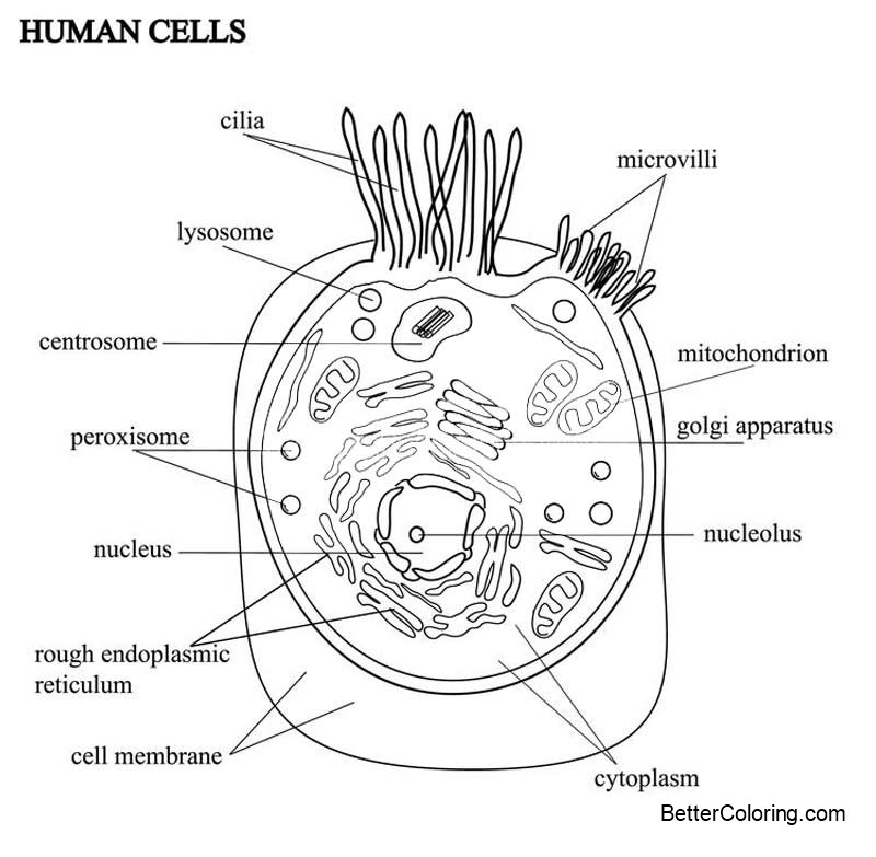 Animal Cell Coloring Pages Human Cells Free Printable Coloring Pages