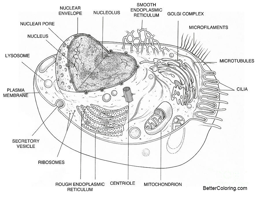 animal cell diagram coloring pages