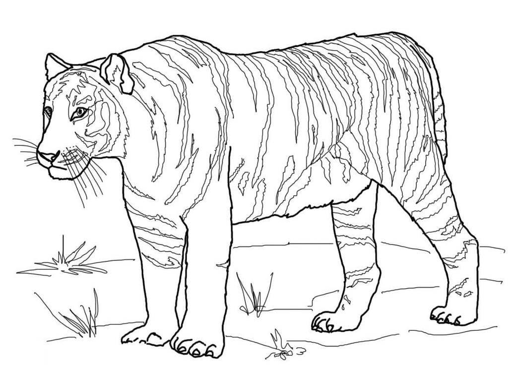 Tiger Coloring Pages Stunning for Kids - Free Printable ...