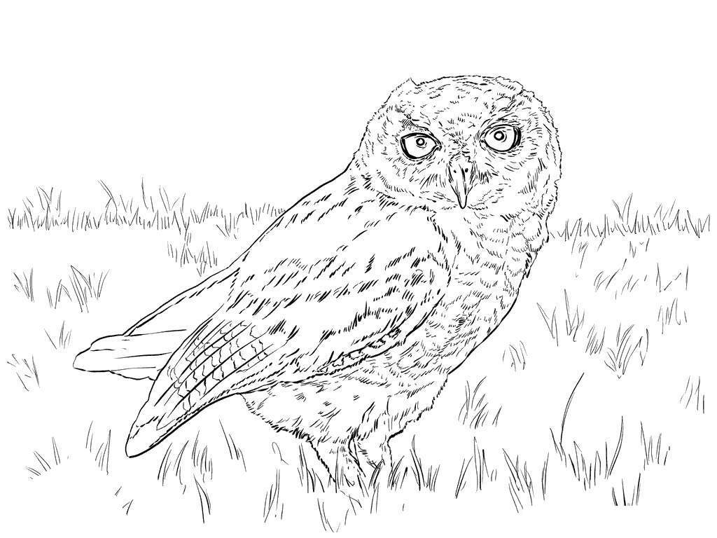 Barn owls coloring pages birds owl