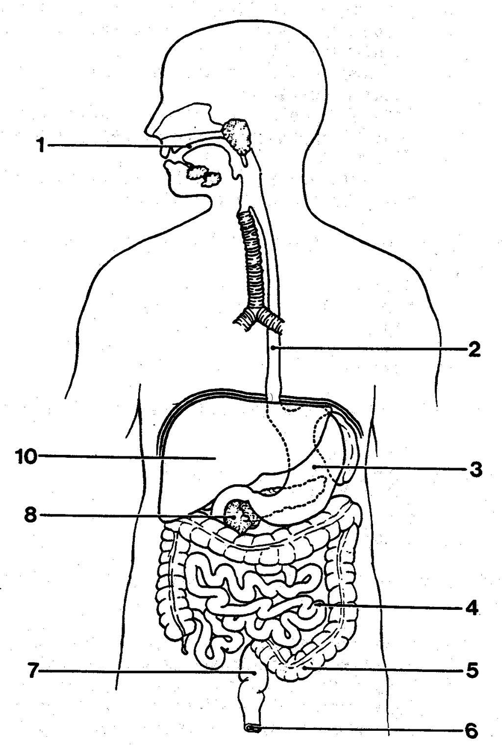 Digestive System Coloring Pages Worksheet Worksheets Free