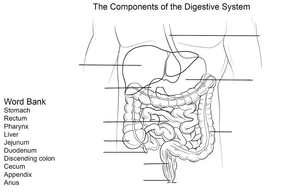 Digestive System Coloring Pages Worksheet For Kids Free
