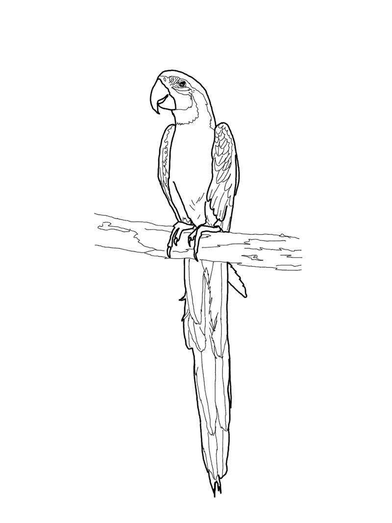Free Macaw Coloring Pages Clipart printable