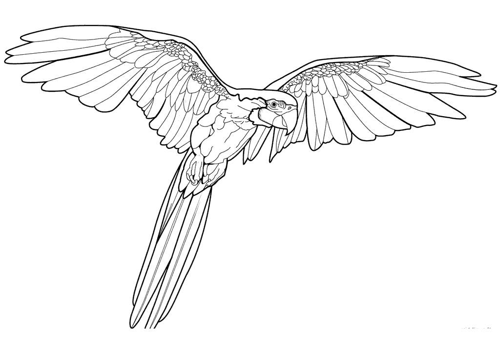 Free Macaw Coloring Pages Flying Line Drawing printable