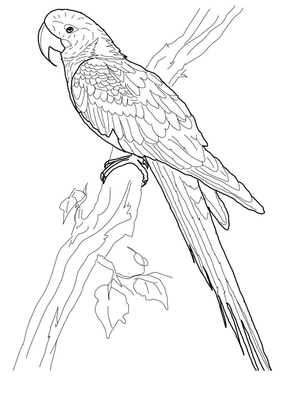 Free Macaw Coloring Pages Hyacinth Lineart printable