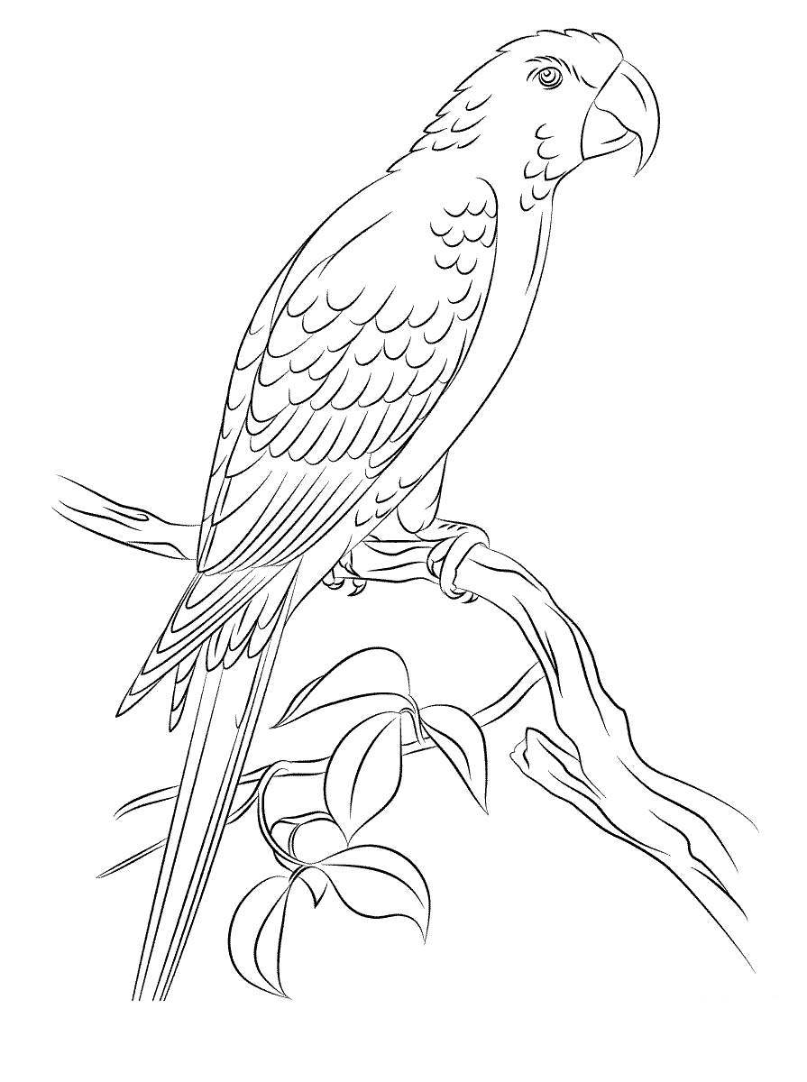 Free Macaw Coloring Pages Jamaican Red printable